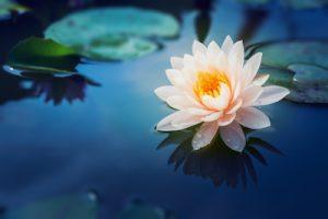 淡く美しい色の蓮の花