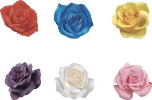 カラフルな薔薇の花