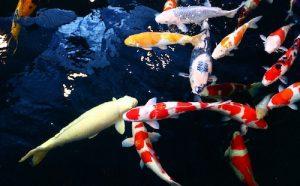 カラフルの鯉(コイ)