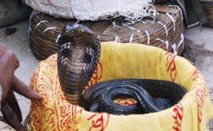 キングコブラの写真素材