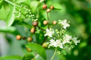 ヘナの花とヘナの実