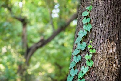 木に巻き付いている蔦の写真