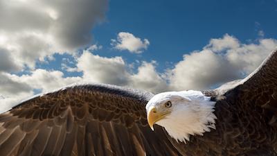 空を飛ぶ大鷲の写真