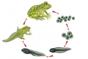 オタマジャクシからカエルの進化の過程