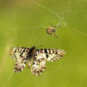 蝶を襲う蜘蛛