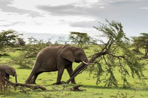 木を倒すゾウ